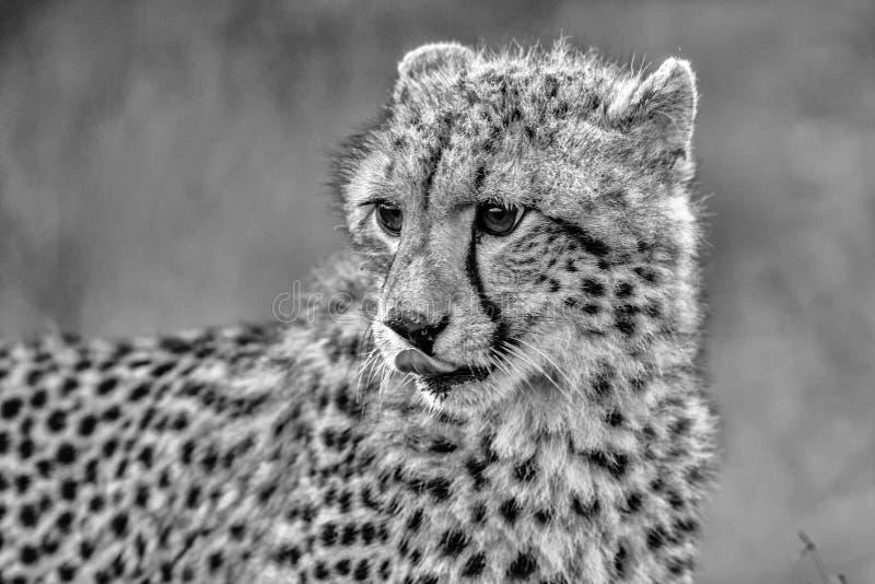 Zwart-witte Babyjachtluipaard in het Nationale Park van Kruger royalty-vrije stock afbeelding