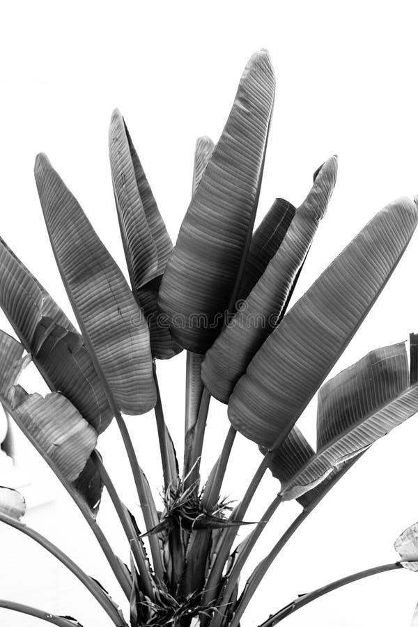 Zwart-witte banaanboom royalty-vrije stock afbeelding