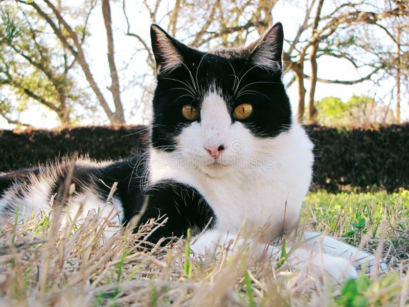 Zwart-witte Binnenlandse Shorthair-Kat stock fotografie