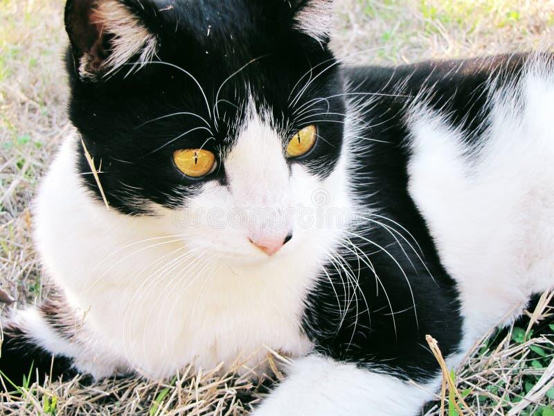 Zwart-witte Binnenlandse Shorthair-Kat royalty-vrije stock afbeelding