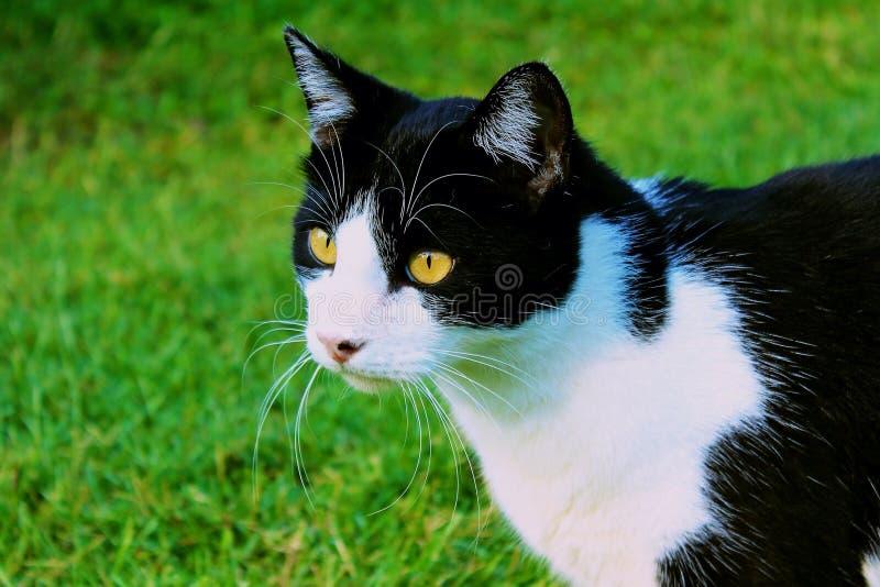 Zwart-witte Binnenlandse Shorthair-Kat royalty-vrije stock afbeeldingen