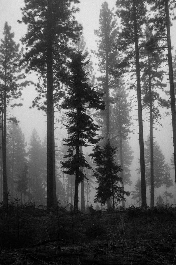 Zwart-witte Bomen in Mist stock afbeeldingen