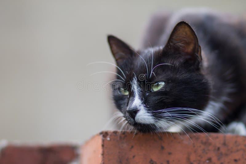 Zwart-witte Cat Portrait stock afbeelding