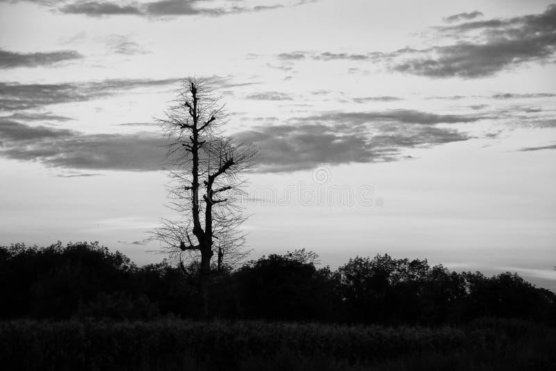 Zwart-witte droge boomsilhouetten in de boshemel stock afbeeldingen