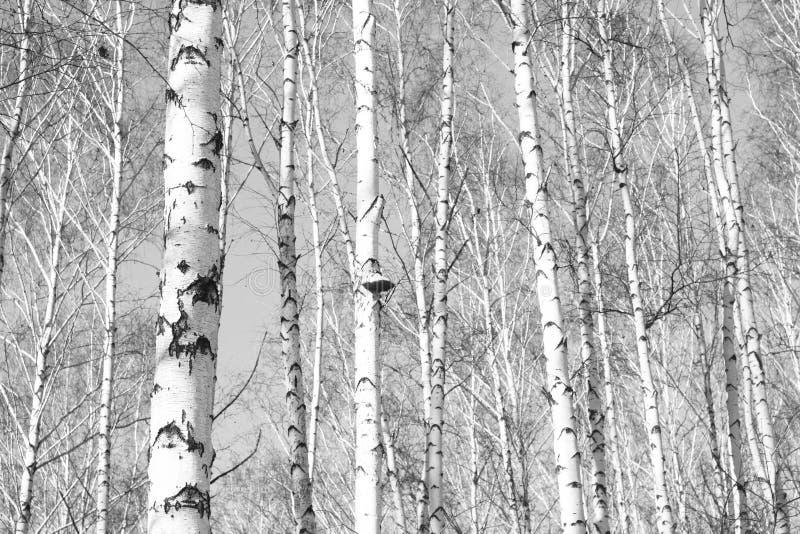 Zwart-witte foto van berken royalty-vrije stock foto