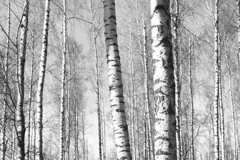 Zwart-witte foto van berken stock afbeelding