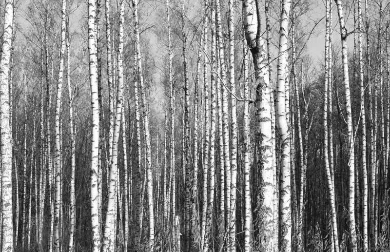 Zwart-witte foto van berken stock foto's