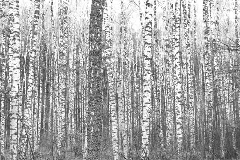 Zwart-witte foto van zwart-witte berken in berkbosje stock fotografie