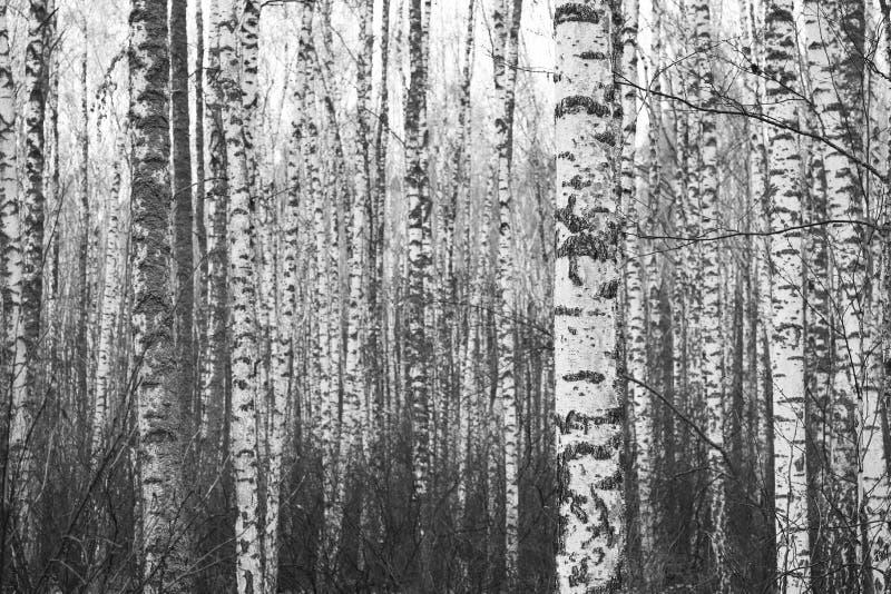 Zwart-witte foto van zwart-witte berken in berkbosje royalty-vrije stock foto's