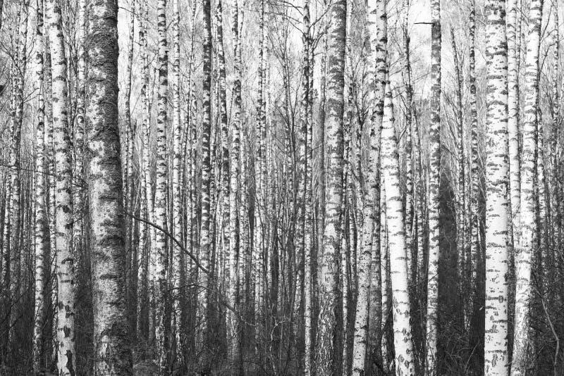 Zwart-witte foto van zwart-witte berken in berkbosje stock afbeeldingen