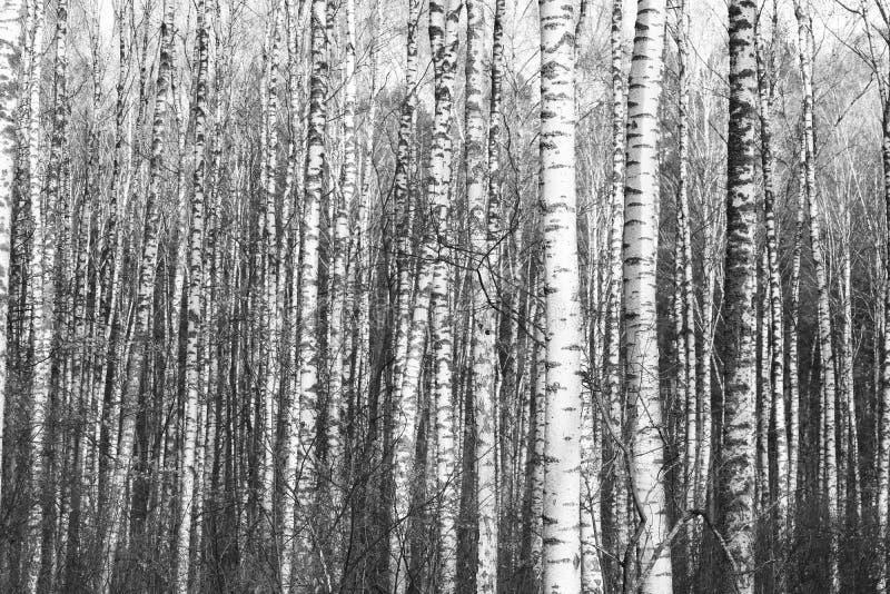 Zwart-witte foto van zwart-witte berken in berkbosje stock foto's