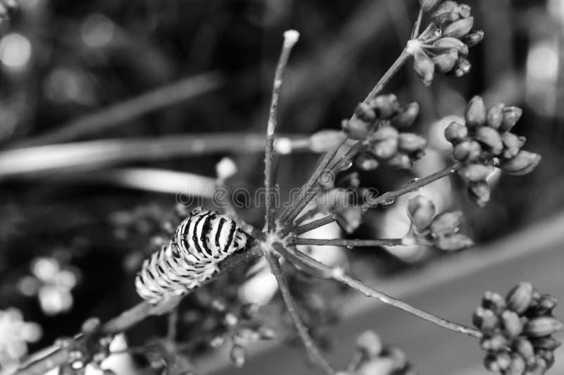 Zwart-witte foto van een rupsband van de monarchvlinder in een natte tuin stock foto's