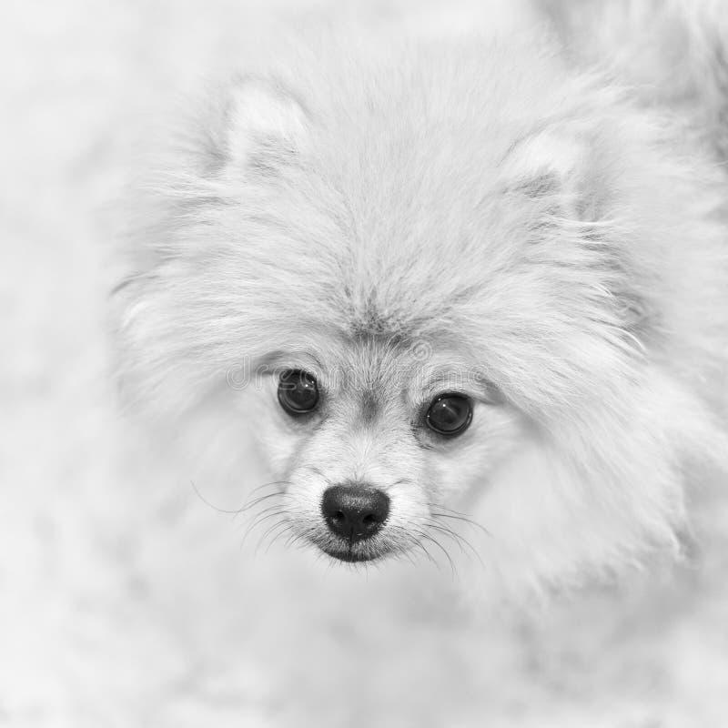 Zwart-witte foto van hondspitz royalty-vrije stock fotografie