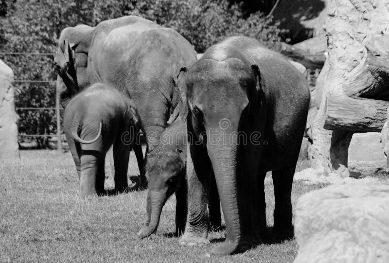 Zwart-witte foto van olifanten stock foto