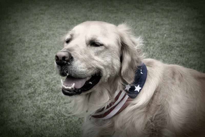 Zwart-witte Foto van Patriottische Golden retrieverhond royalty-vrije stock afbeelding
