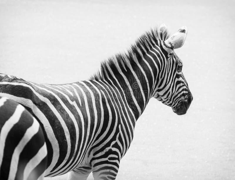 Zwart-witte foto van zebra stock afbeeldingen