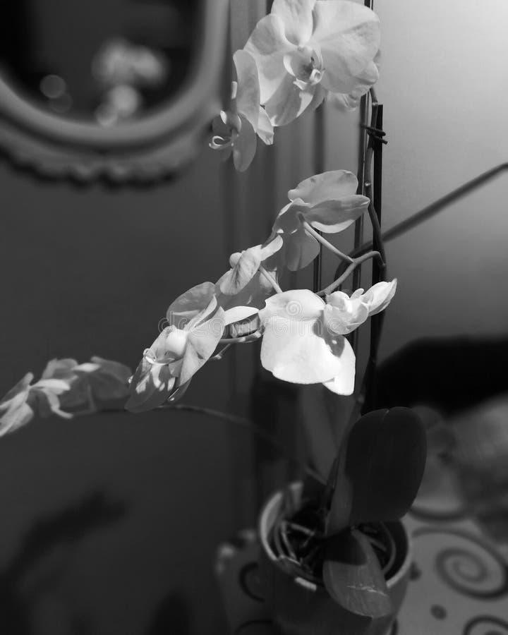 Zwart-witte fotoorchidee stock afbeeldingen
