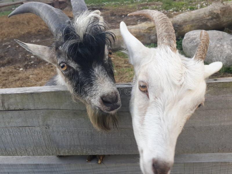 Zwart-witte geit royalty-vrije stock afbeelding
