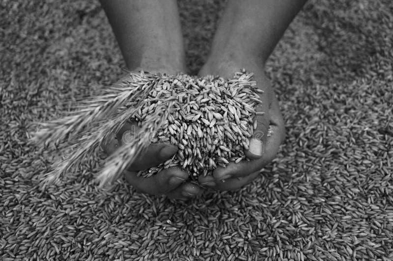 Zwart-witte Geoogste korrel in de palmen met aartjes royalty-vrije stock fotografie