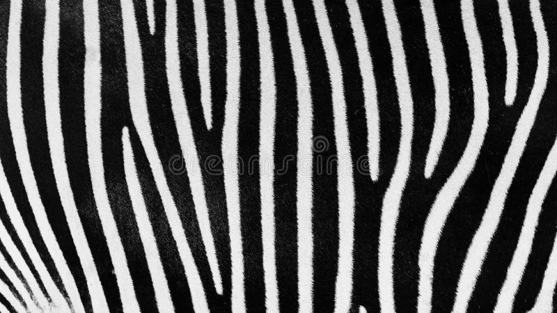 Zwart-witte Gestreepte Huid stock foto's