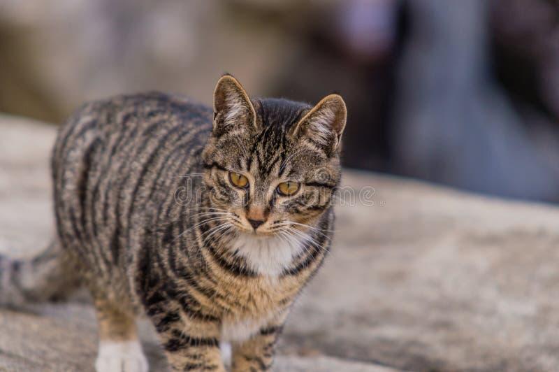 Zwart-witte gestreepte katkat die zich op een grote bolder bevindt royalty-vrije stock foto