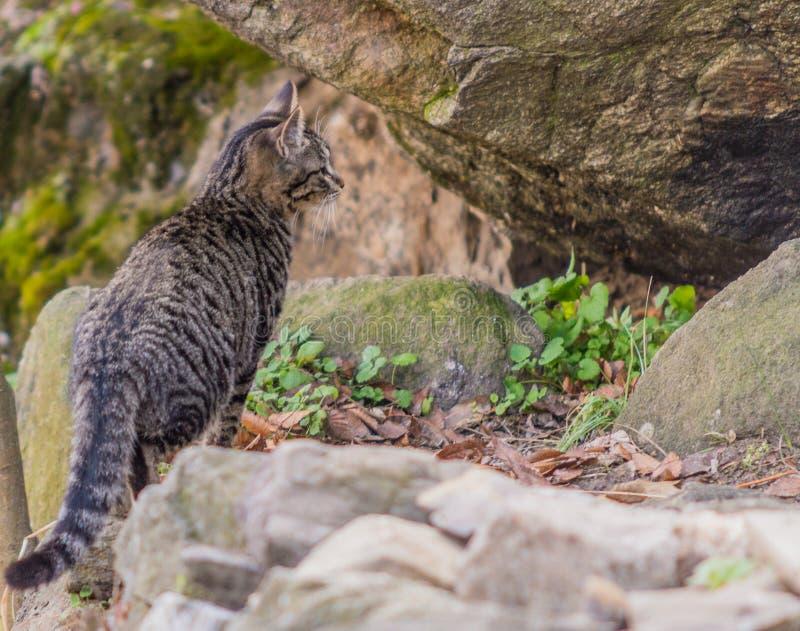 Zwart-witte gestreepte katkat die zich op een grote bolder bevindt royalty-vrije stock afbeeldingen