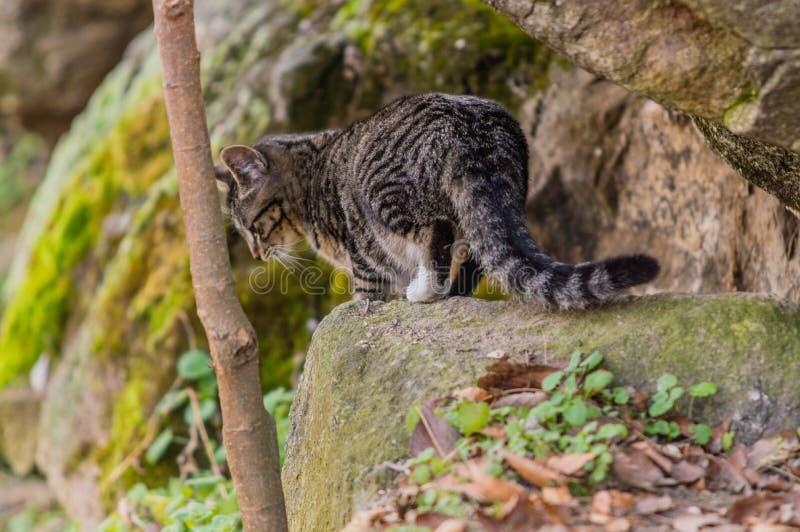Zwart-witte gestreepte katkat die zich op een grote bolder bevindt stock fotografie