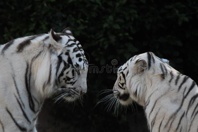 Zwart-witte Gestreepte Tijger stock afbeeldingen
