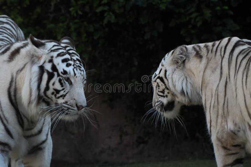 Zwart-witte Gestreepte Tijger stock foto