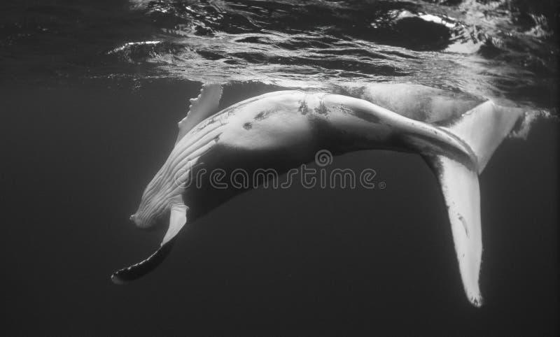 Zwart-witte het Kalf van de gebocheldewalvis stock fotografie