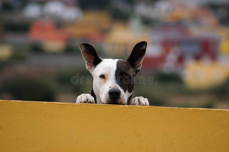 Zwart-witte hond royalty-vrije stock afbeelding