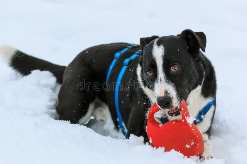 Zwart-witte Hond in de Sneeuw stock foto's