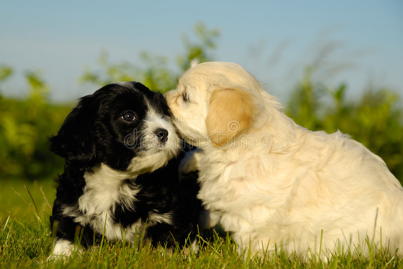 Zwart-witte honden royalty-vrije stock afbeelding