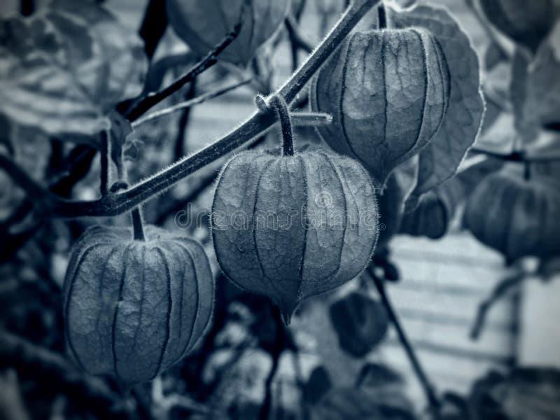 Zwart-witte Kaapkruisbessen royalty-vrije stock fotografie