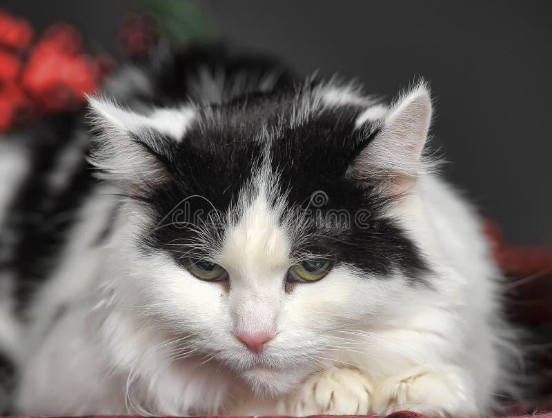 Zwart-witte kat stock afbeeldingen