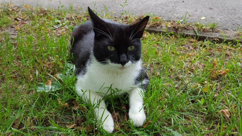 Zwart-witte kat stock afbeelding