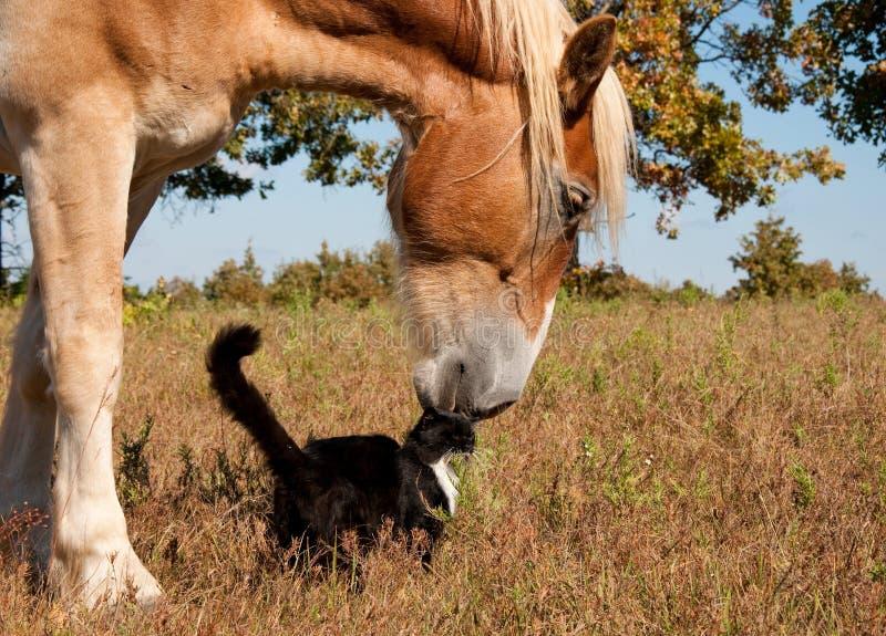 Zwart-witte kat en zijn vriend, Belgisch paard stock fotografie