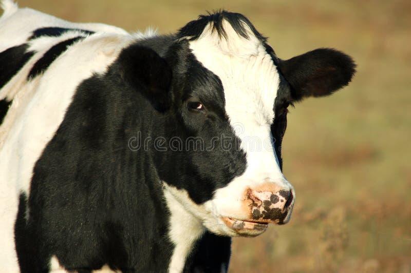 Zwart-witte Koe royalty-vrije stock foto