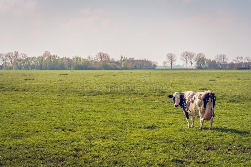 Zwart-witte koe alleen in een grote weide stock afbeeldingen