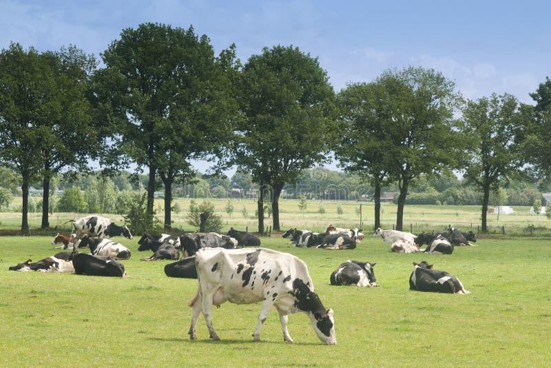 Zwart-witte koe op een landbouwbedrijf stock foto's