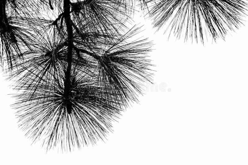 Zwart-witte lange pijnboomnaalden royalty-vrije stock fotografie