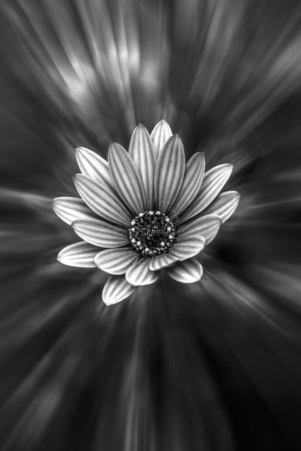 Zwart-witte madeliefje-als bloem royalty-vrije stock afbeelding
