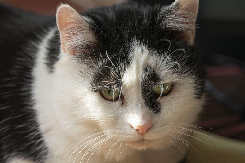Zwart-witte mooie kat, groot portret Droevige stemming royalty-vrije stock afbeeldingen