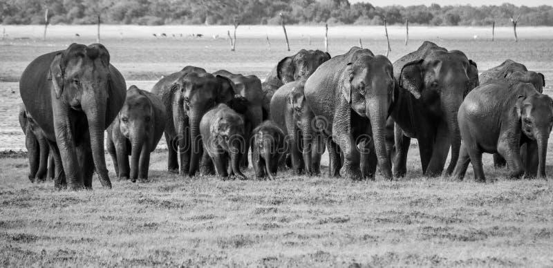 Zwart-witte olifanten stock foto's