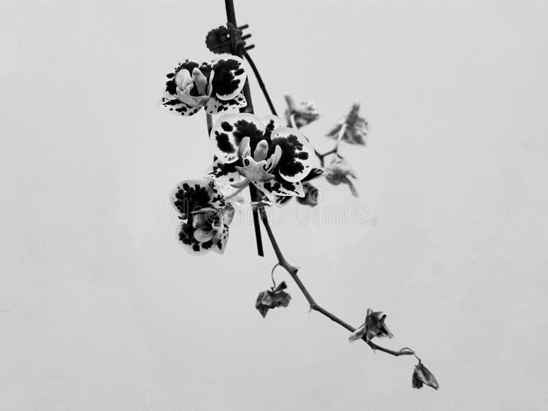 Zwart-witte orchidee royalty-vrije stock afbeelding