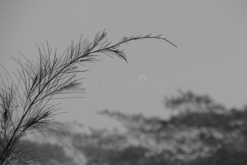 Zwart-witte pijnboominstallatie stock foto