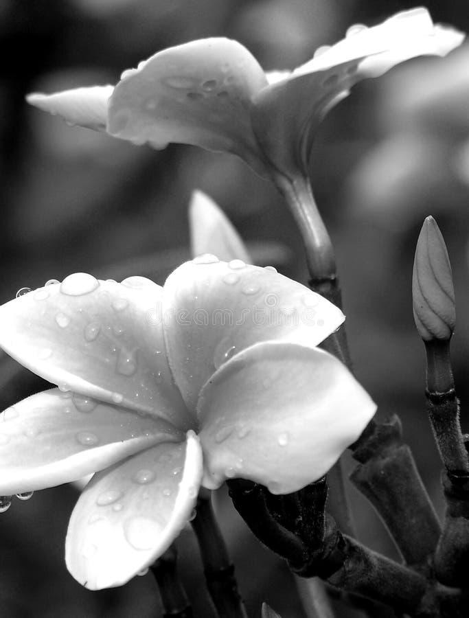 Zwart-witte plumerias royalty-vrije stock afbeelding