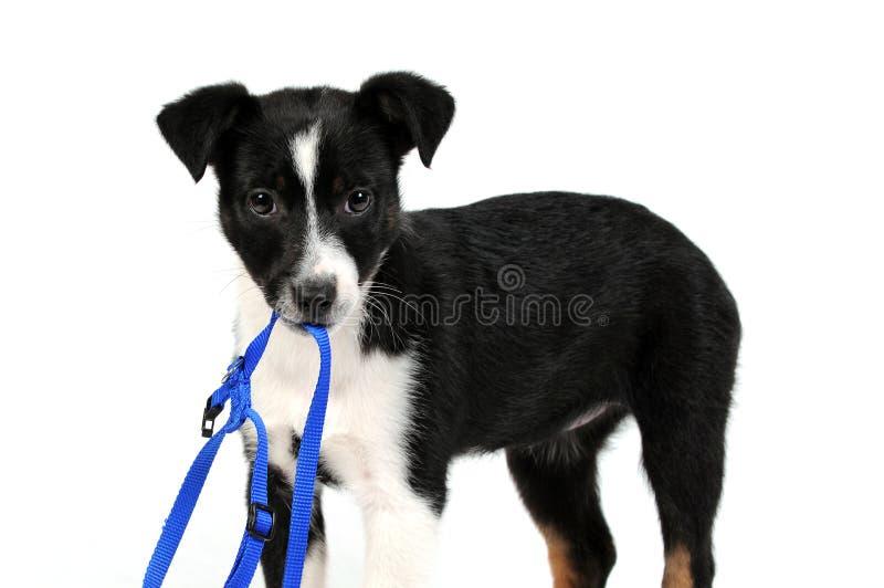 Zwart-witte puppyhond stock afbeeldingen
