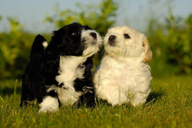 Zwart-witte puppyhonden stock afbeeldingen