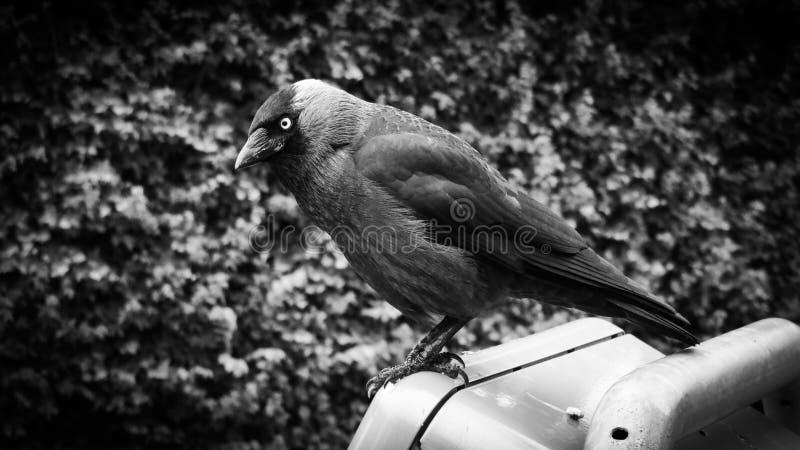 Zwart-witte Raven Trash stock foto